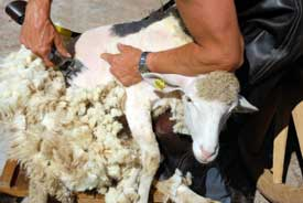 shearing sheep for wool fabric